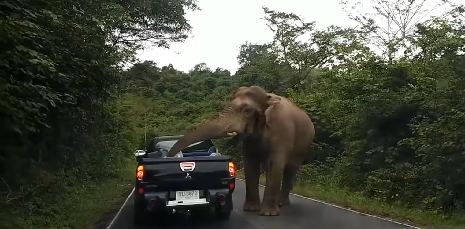 04c002347c7 Μπλόκο έστησε ο ελέφαντας στα αυτοκίνητα αναζητώντας φαγητό - Ηλεία ...