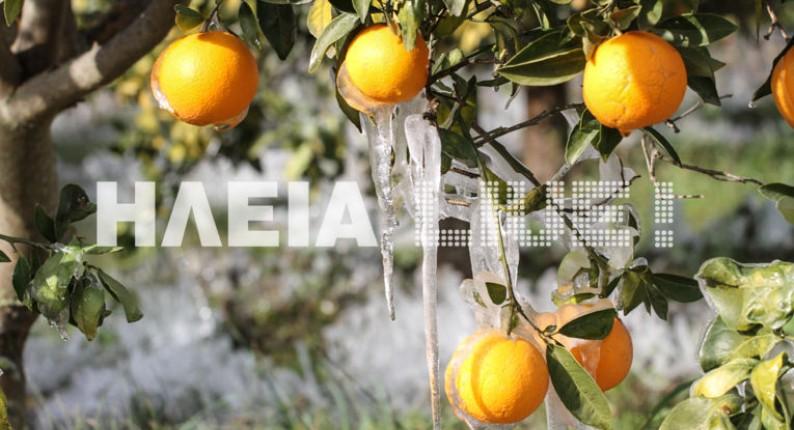 Ηλεία: Απίστευτες εικόνες σε παγωμένους πορτοκαλεώνες (photos)