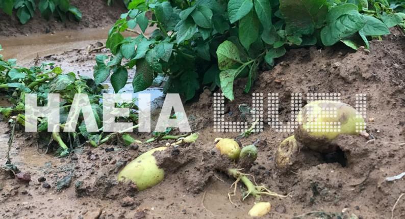 Ηλεία: Αντίο πατάτα . . . Νέες καταστροφές στις καλλιέργειες