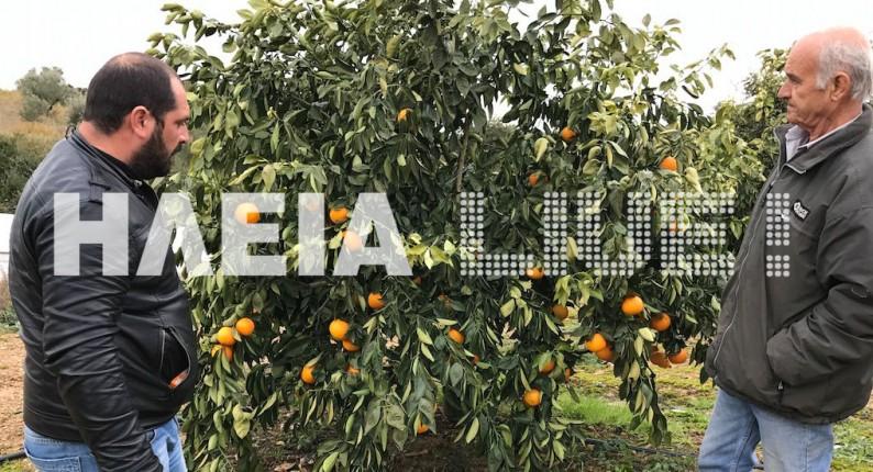 Ηλεία: Στο έλεος του καιρού οι παραγωγοί στο Τραγανό
